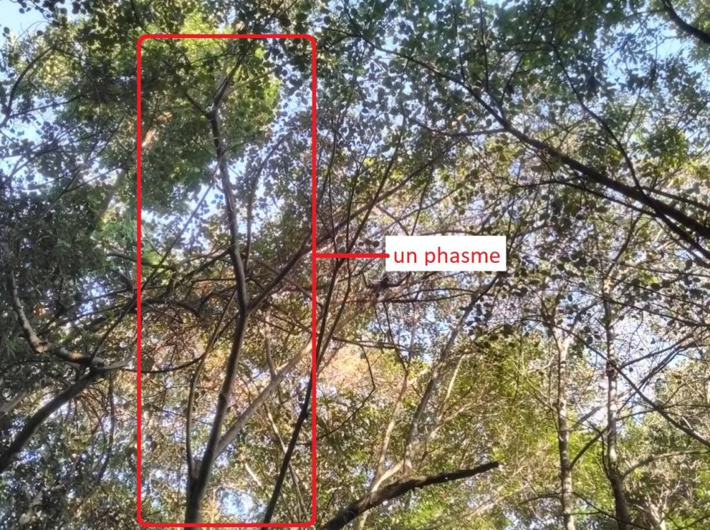 phasme.thumb.jpg.9c623a3df9bcaa15c2dba56a1f245d30.jpg
