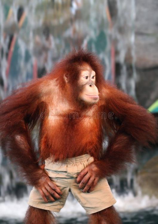 un-orang-outan-femelle-4853742.jpg