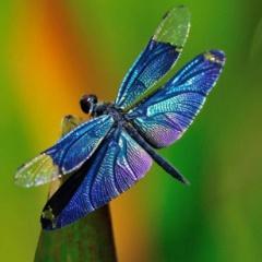 la libellule
