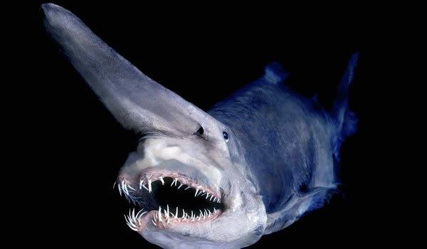 animal-requin-lutin.jpg