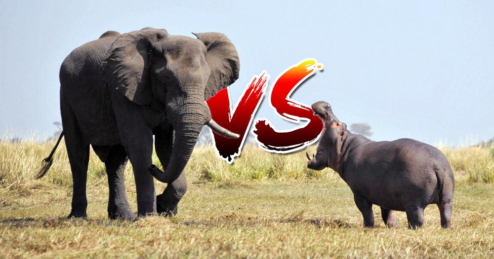 prev-elephant-hippopotame.jpg.afa6b6832bfa82ff72bd8a5795587237.jpg