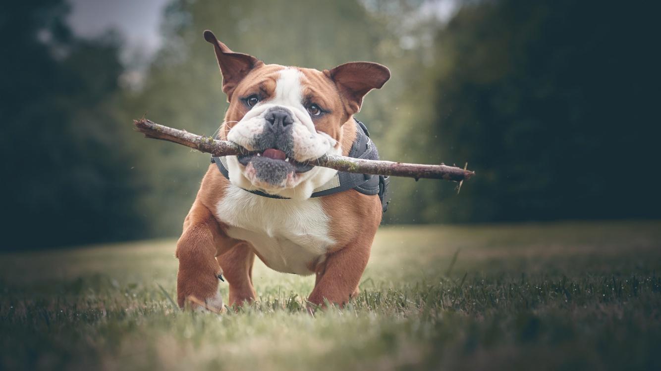 bulldog-4249777_1920.jpg